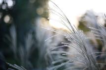 ice on pine needles