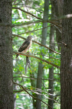 Red Tailed hawk sitting in tree with hunted grey squirrel hanging from talons