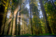 sunburst through foggy redwood forest