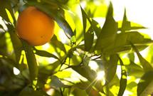 An orange in an orange tree
