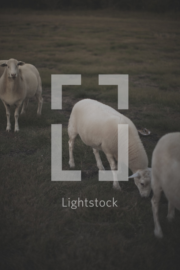 sheep grazing in a pasture