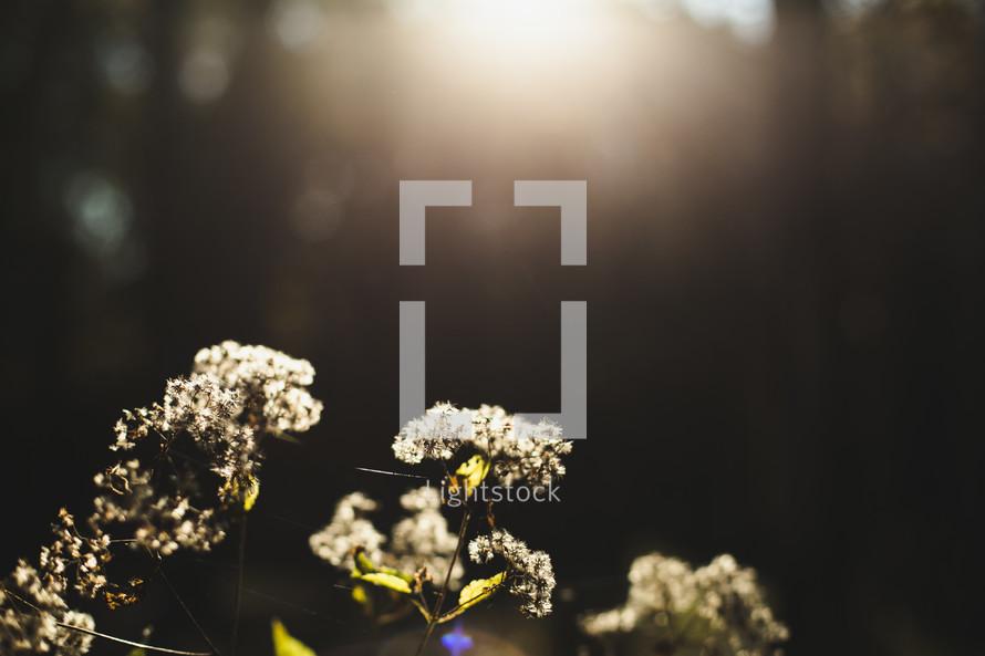 warm sunlight on white flowers