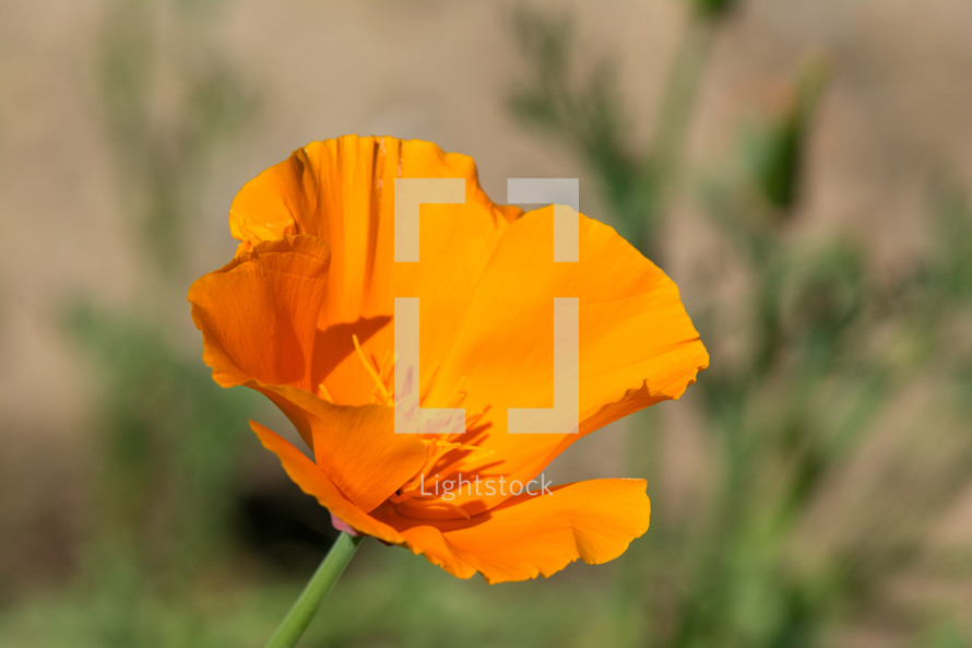 orange California poppy