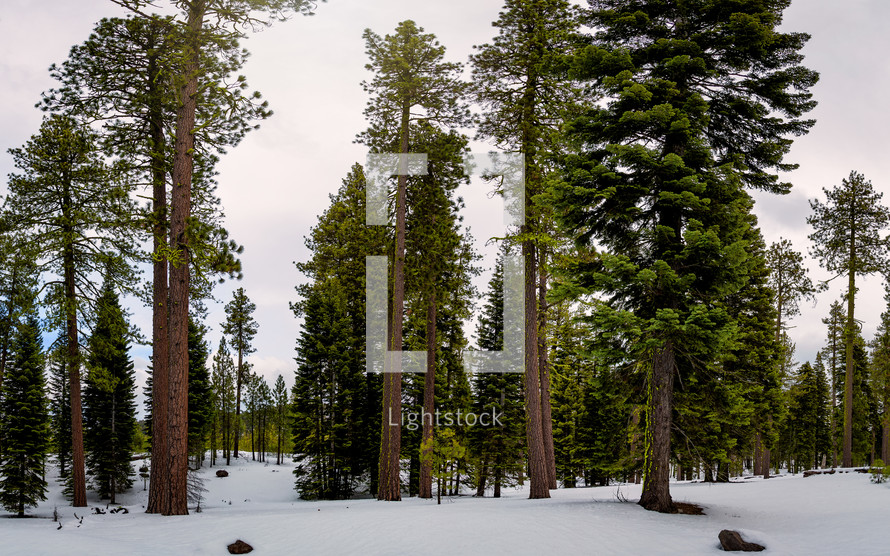 tall trees in winter snow