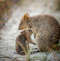 Mother and bay quokka in the sand.