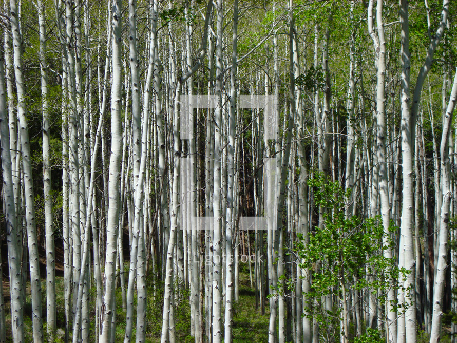 A forest full of birch trees