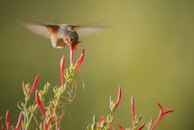 hummingbird gathering nectar
