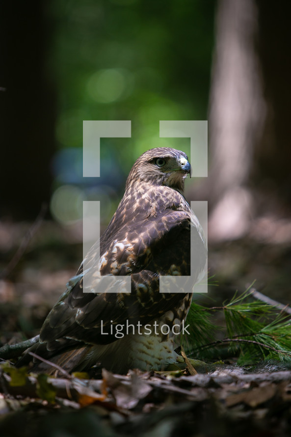 Red Tailed Hawk sitting in the woods