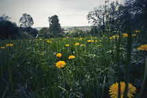 field of dandelions and grass
