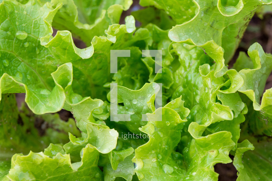 wet green lettuce