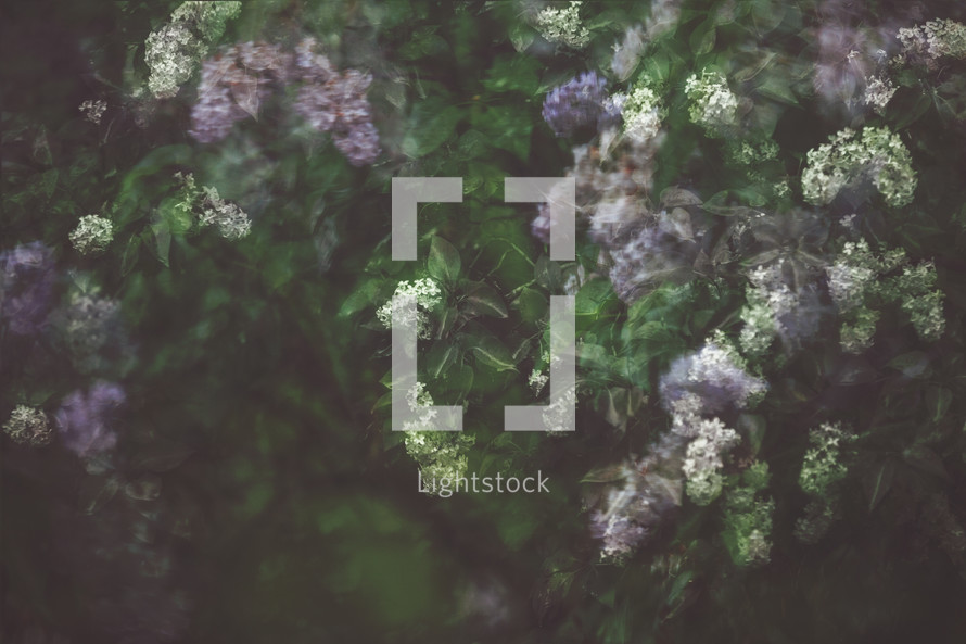 a moody photograph of lilacs in the rain, double exposure, layered