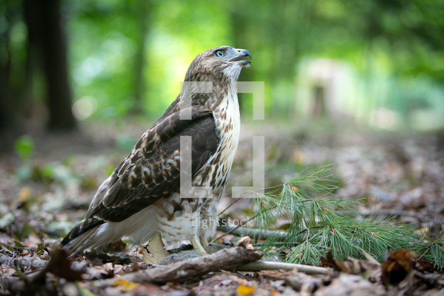 Red tailed hawk on the ground in the woods with hunted squirrel