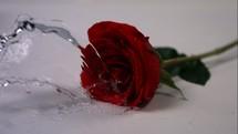 water splashing on a long stem red rose