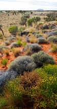 Outback desert plants