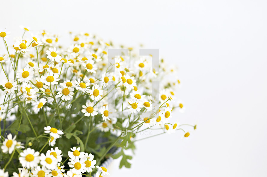 white daisies in a bag