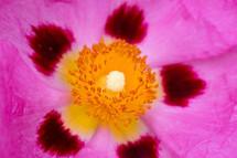 yellow center of a fuchsia flower