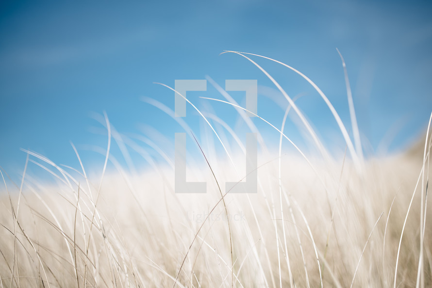 wispy brown grasses and blue sky