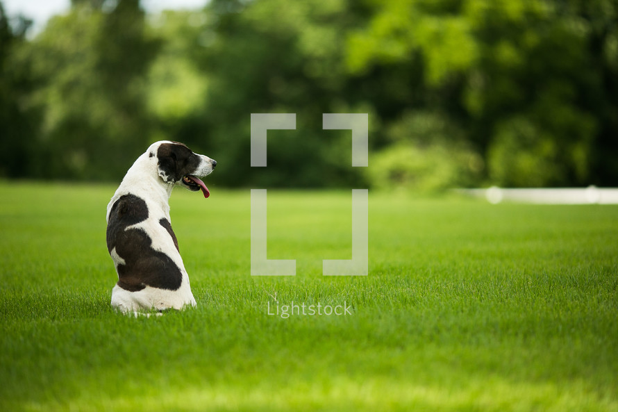 Dalmatian sitting in the grass