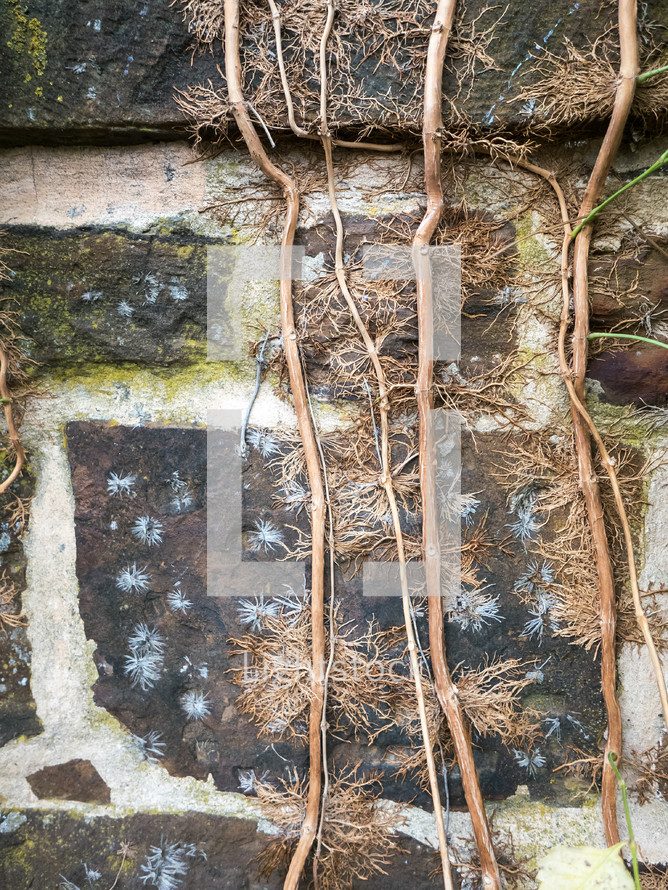 dead vines on a wall