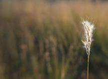 fuzzy seeds