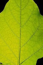 veins in a leaf