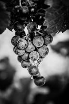 Minimal black texture background grapes