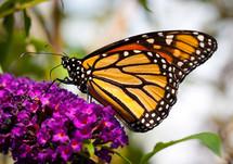 A butterfly on a purple flower