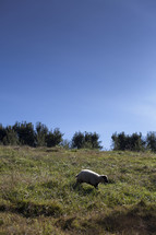 a sheep running in a pasture