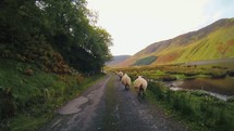 sheep running down a road in Scotland