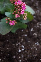flowers on a plant in potting soil