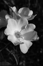 rose bloom in black and white