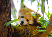 red panda in bamboo at the zoo.