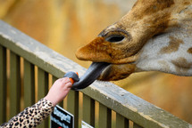 A giraffe taking food from a child with his tongue.