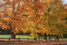 fall maple trees and fence line