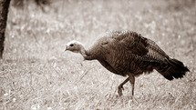 Turkey walking in a field of grass.