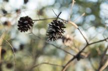 Pinecones on a tree.