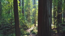 Moving through a lush and beautiful redwood forest.
