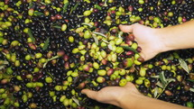 processing olives to make olive oil