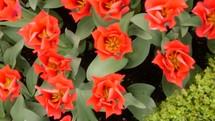 tulips in Amsterdam