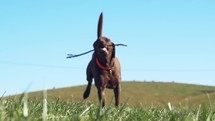 chocolate lab playing fetch