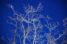 Birch trees against cobalt sky.