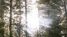 rays of sunlight shining through the trees in a forest