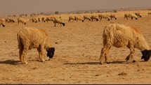 sheep grazing in drought stricken land