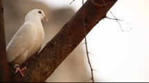 a white pigeon in a tree