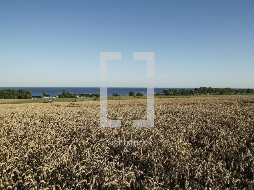 fields of wheat in Österlen, Sweden