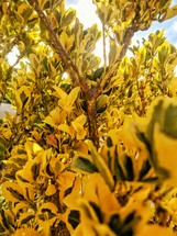 yellow and green leaves on a bush