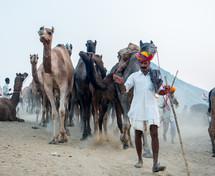 Man herding camels through the desert.