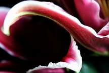 dark contours on a lily