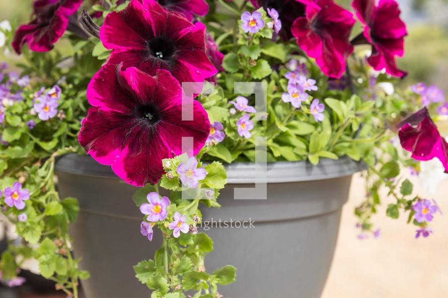 potted petunias