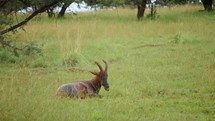 resting gazelle